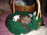 Intelligent and cute baby capuchin monkey for adoption