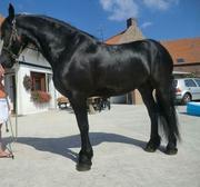 Pedigree  Friesian Gelding for Dressage