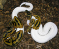 Available Albino and piebald pythons