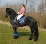 akc reg fresian horse for adoption