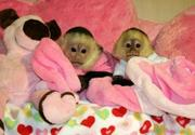 Cuties Babies Capuchin Monkeys For Any Loving Home