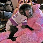 lovely capuchin monkey for sale