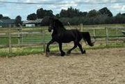 Frisian horse for sale!!!
