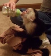 bebies cappuchins monkey for a good home